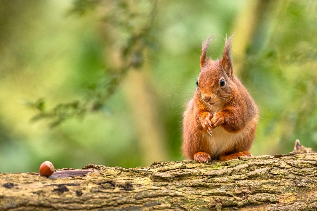 Eichhörnchen schaut in Richtung einer Haselnuss