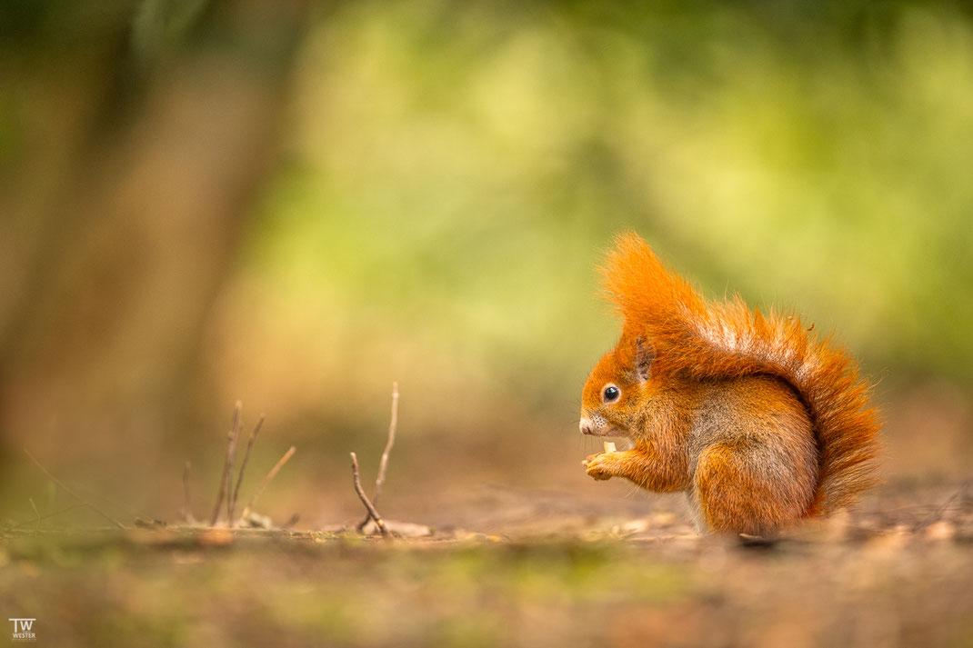 Eichhörnchen isst Haselnuss