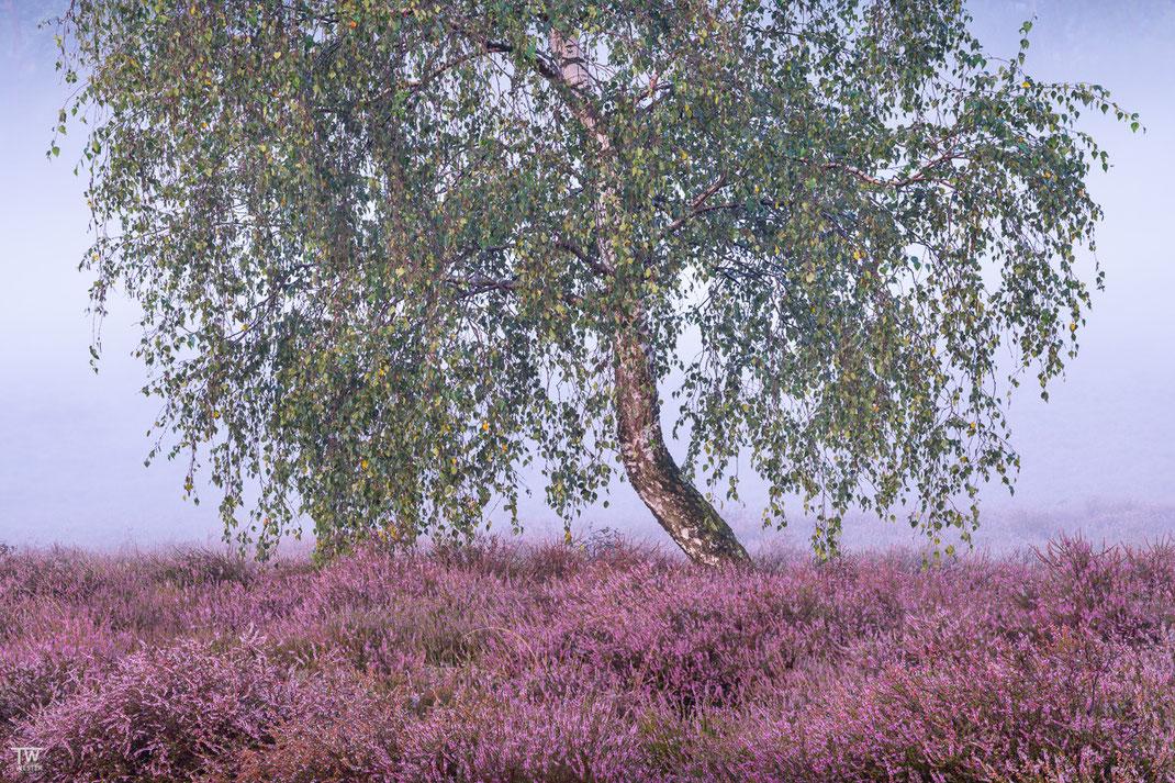 Heideblüte, Nebel und eine Birke, mehr braucht es nicht (B2197)