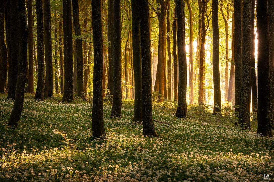 Morgens fiel tolles Licht in dieses Waldstück hinein (B2014)