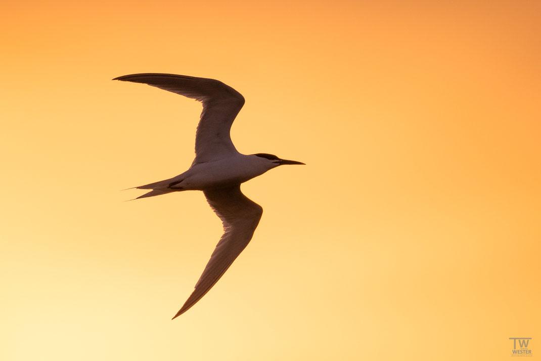Bis weit nach Sonnenuntergang flogen sie ununterbrochen (B2050)