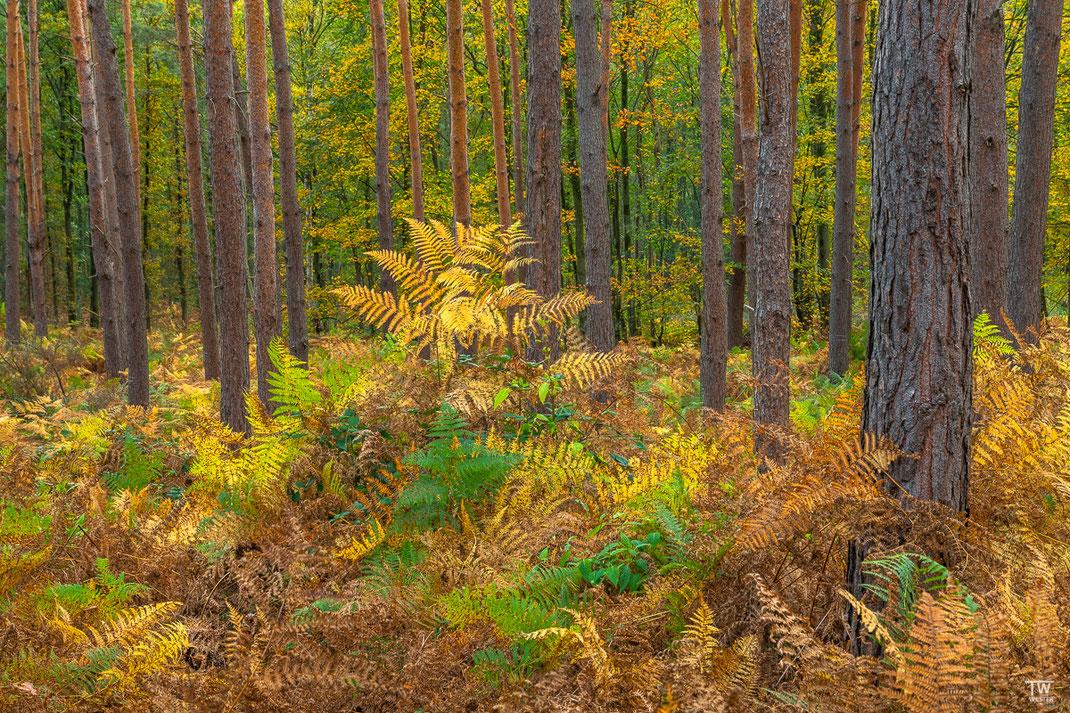 Manche Farne erreichen eine enorme Höhe; die Spitze des mittigen gelben Farnes erreichte eine Höhe von circa 2,50m (B2265)