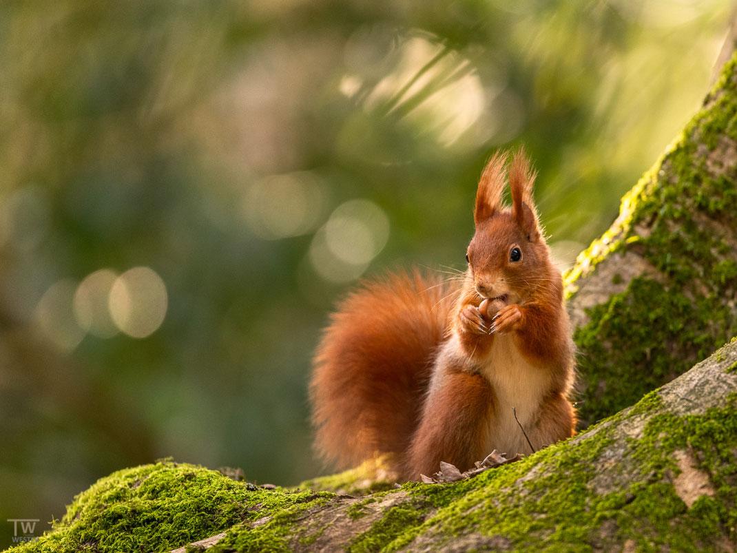 Eichhörnchen sitzt auf einem moosbewachsenem Baumstamm