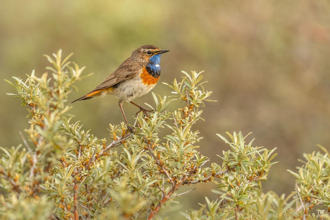 """Und hier ein Bild meiner Lieblings-Singvogelart, dem Blaukehlchen, dem ich als """"Spinoff"""" noch eine eigene Serie widmen werde 😉 (B2019)"""