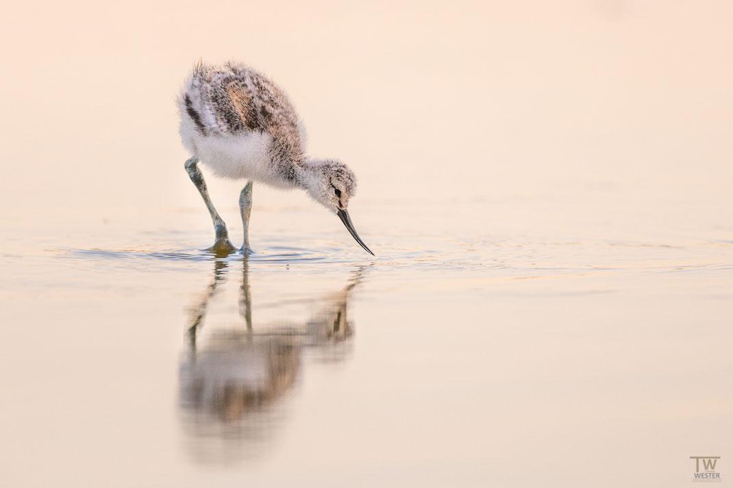 Hier ein schon jugendlicher Vogel im Abendlicht (B2039)