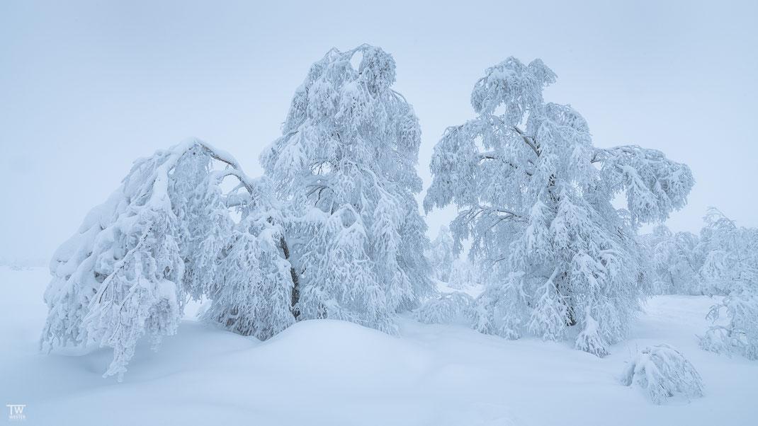 Schneebirken (B2352)