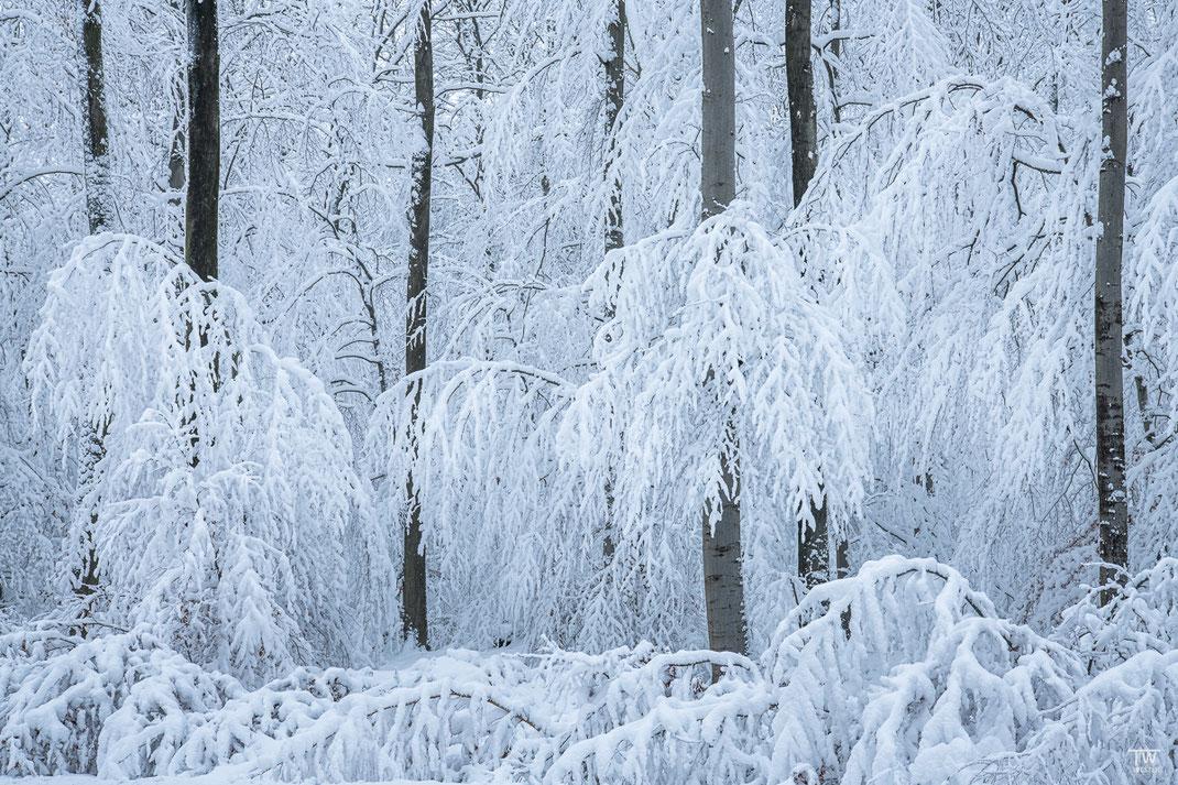 Schneefarne (B2334)
