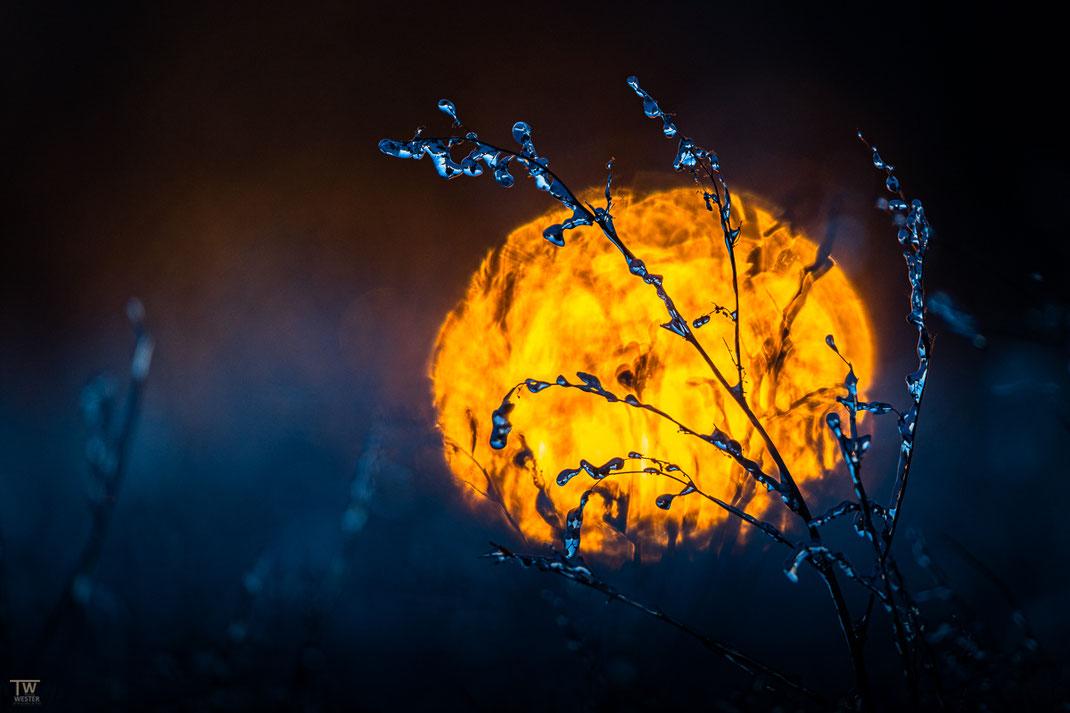 Morgenflammen (B2467)