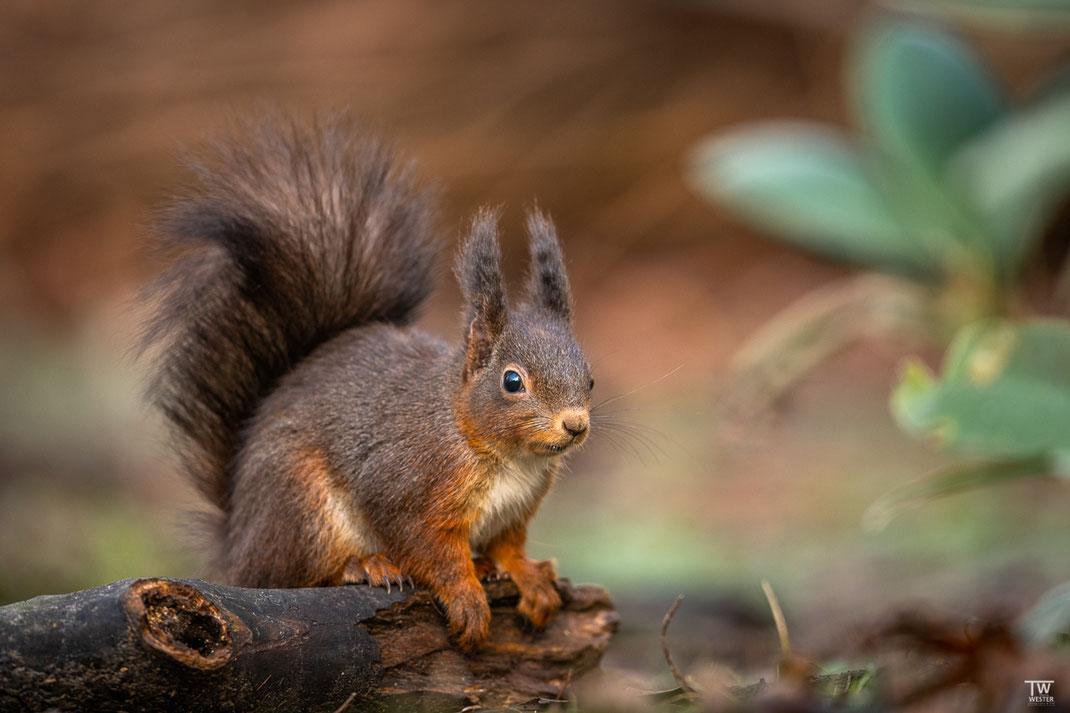 Eichhörnchen sitzt auf einem Baumstamm