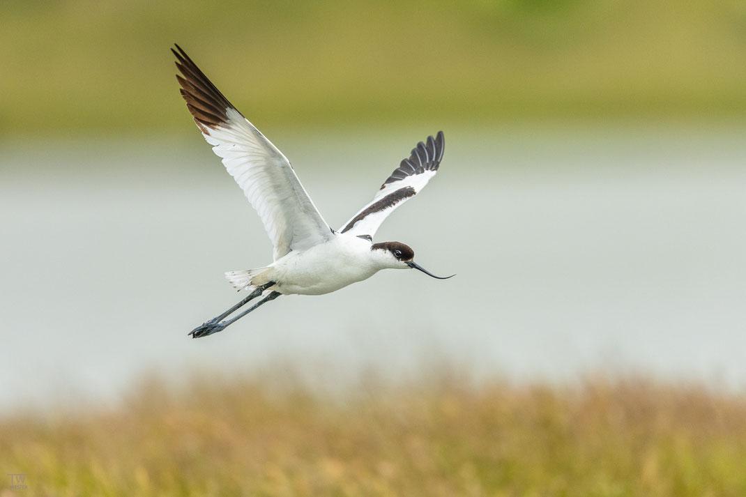 Derweil sind die Eltern kontinuierlich damit beschäftigt, andere Wasservögel auf Distanz zu halten, vor allem gefräßige Möwen (B2045)