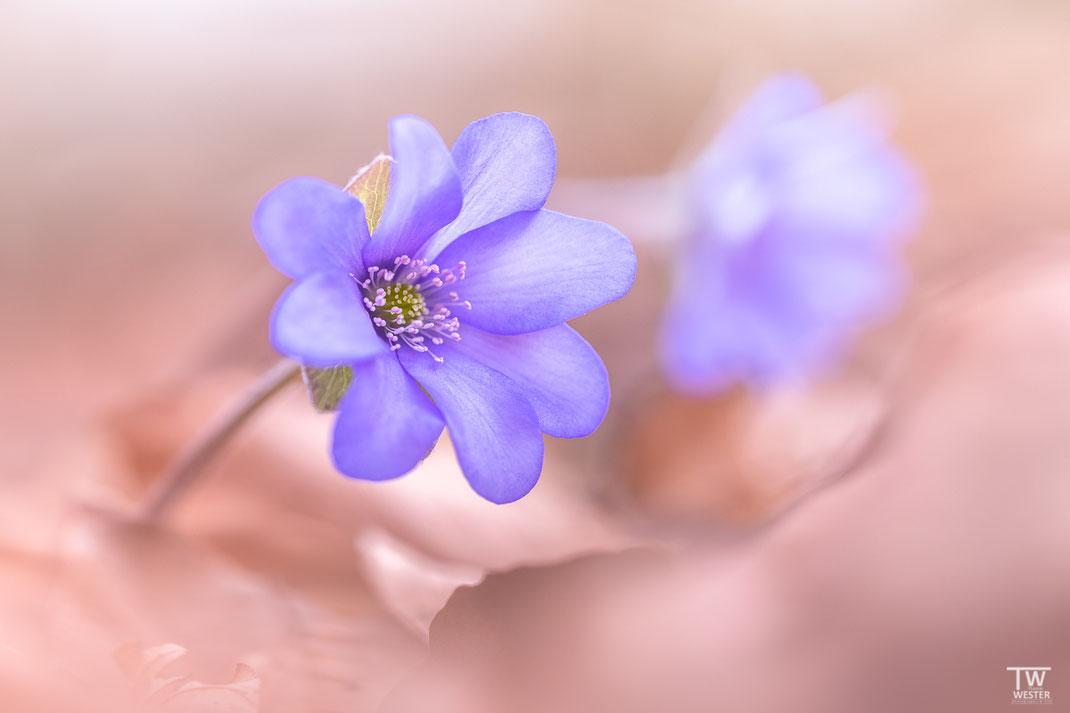 """Erst einmal ein closeup der filigranen Pflanze, in der Regel sind es 6-9 """"Blütenhüllblätter"""" (B1935)"""