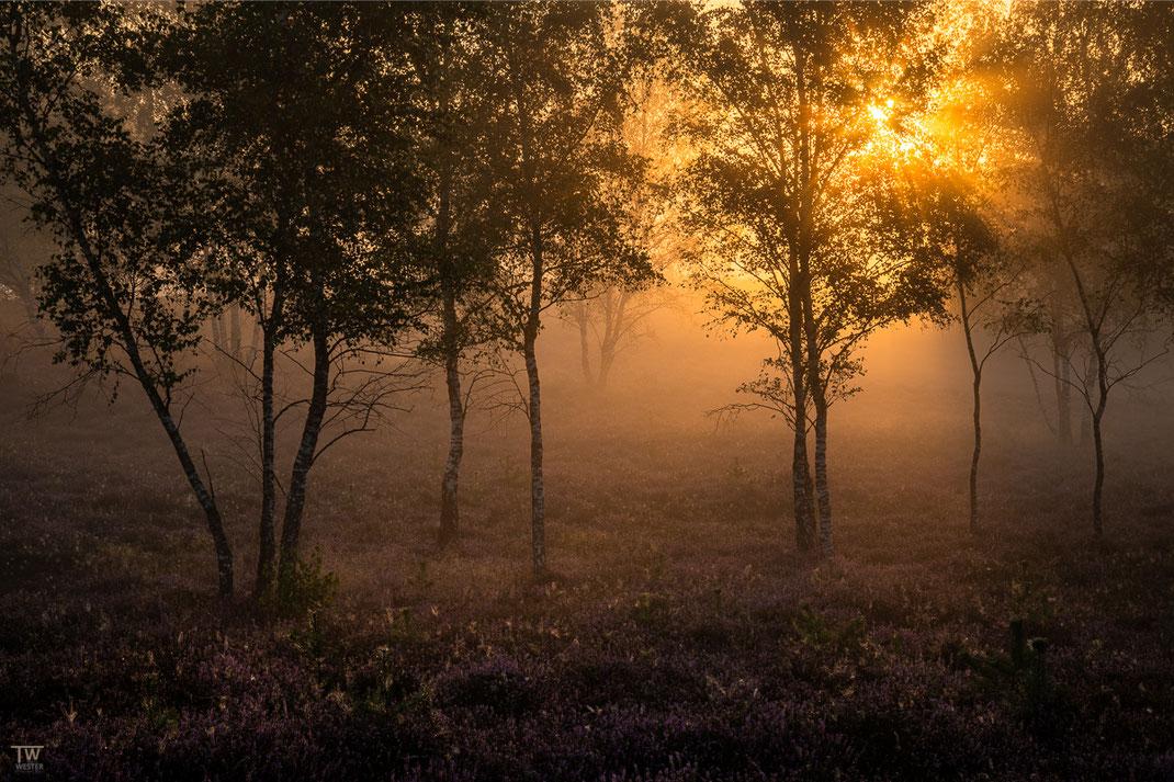 Im jungen Birkenwald (B2727)
