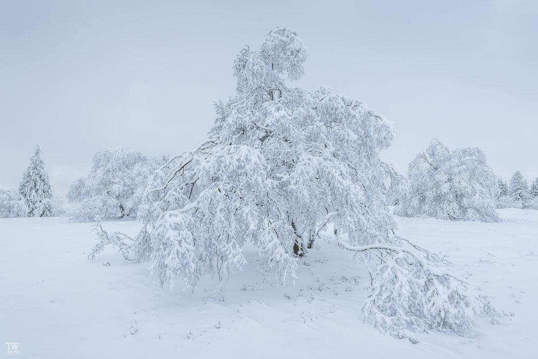 Durch den Schneedruck beugten sich viele Äste und Zweige bis auf die Schneedecke (B2417)