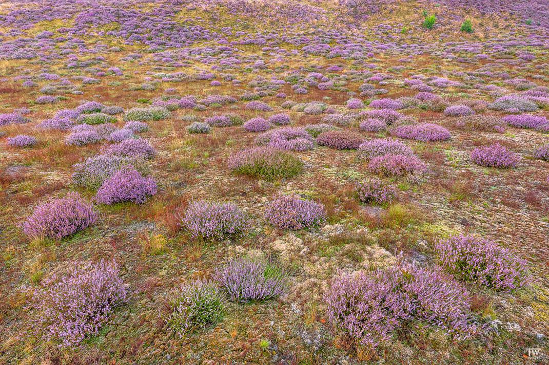 Gerade die jungen Heideflächen waren sehr farbintensiv und die Moose und Flechten ein Eyecatcher (B2196)