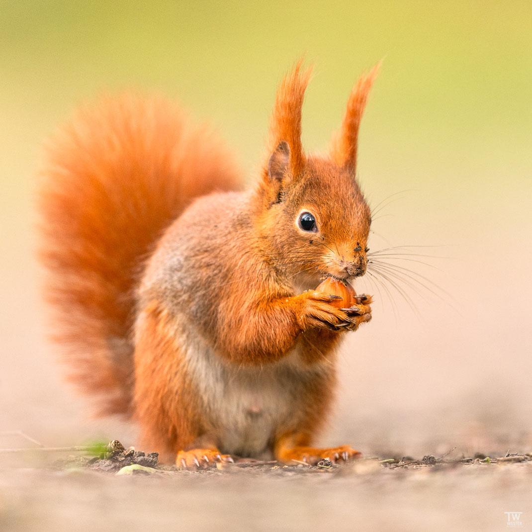 Haselnuss wird von Eichhörnchen gegessen