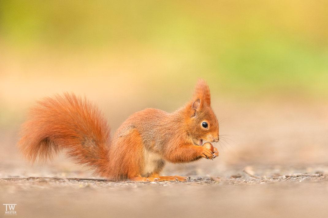 Kleines Eichhörnchen isst Haselnuss