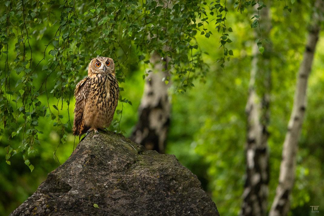 Im Birkenwald (B2688)