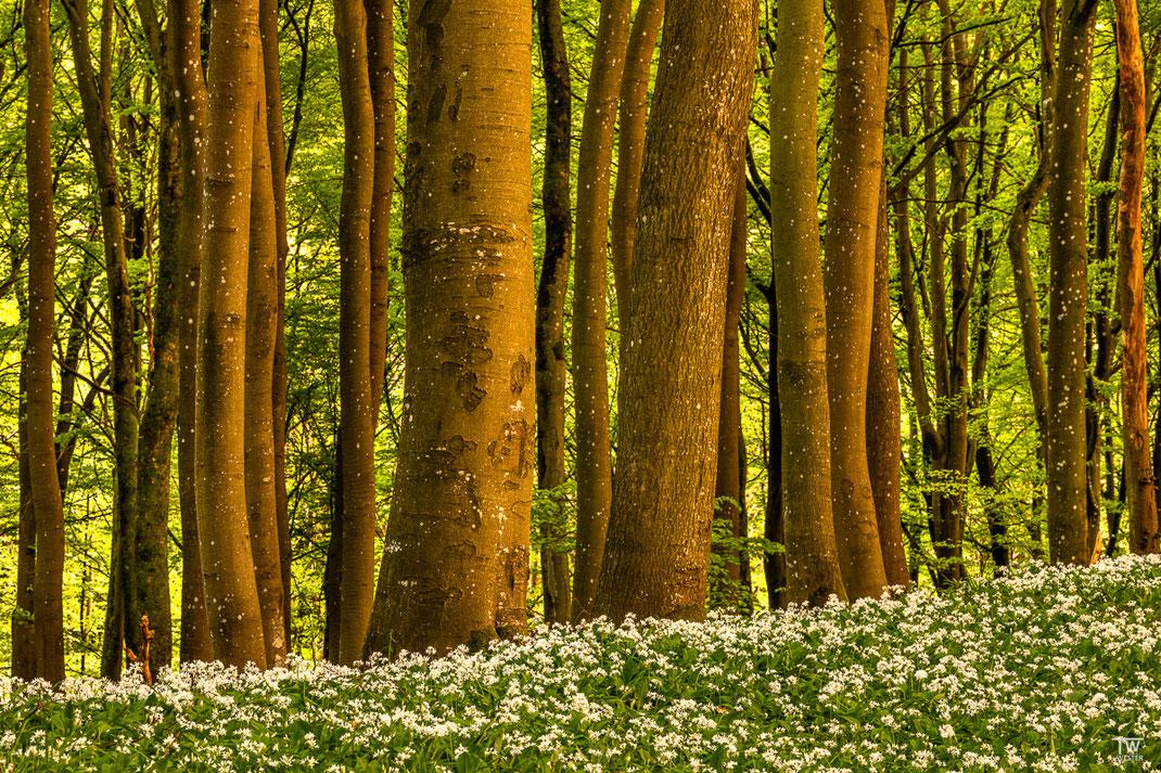 Das Abendlicht leuchtete diese Baumreihe wunderbar an (B2009)