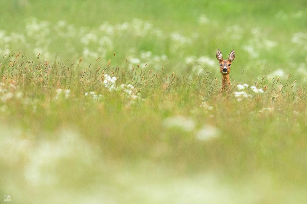 Aus der Entfernung sieht man häufig erstmal ein Kopf aus der Wiese ragen (B2124)