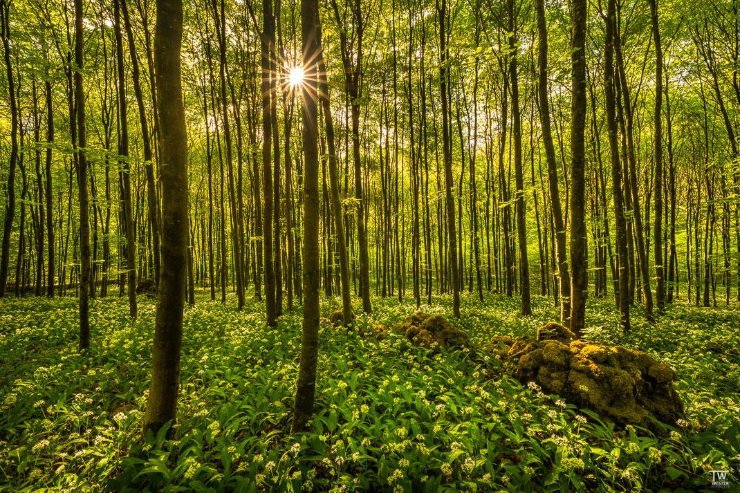 Dieser Wald war mit moosbewachsenen Steinen übersät (B2000)
