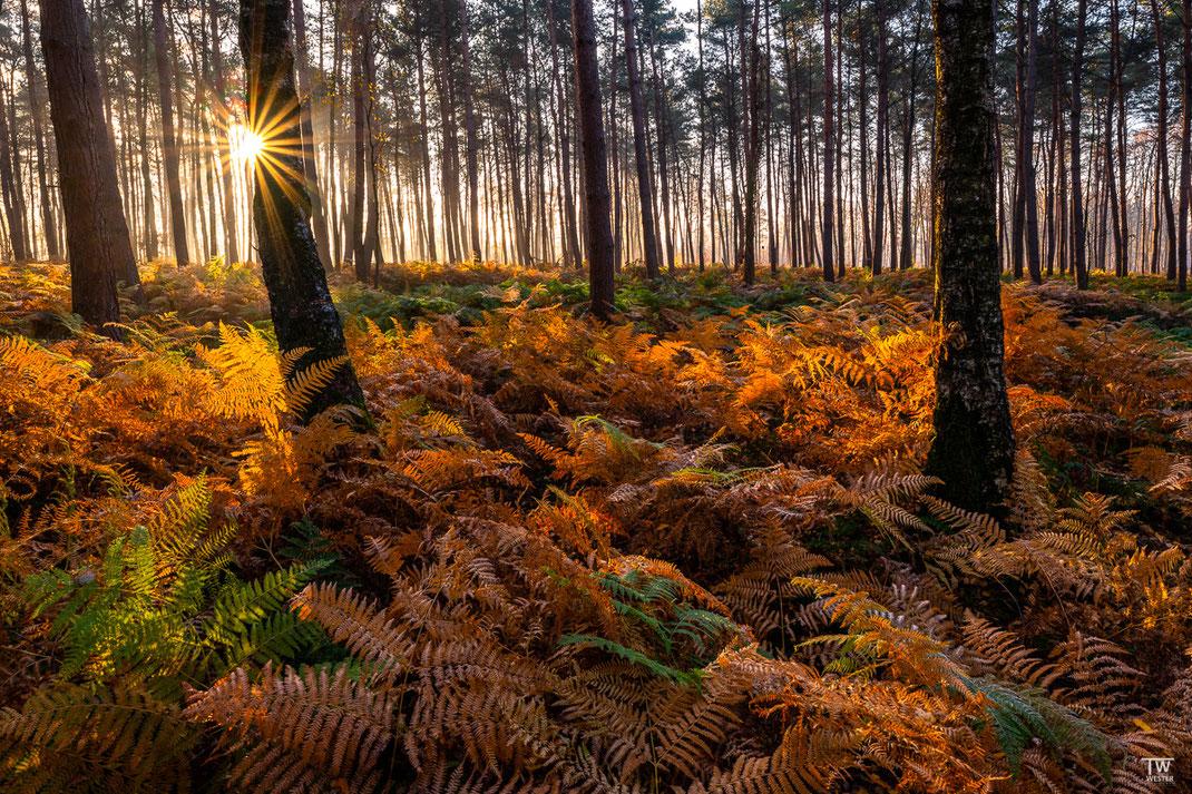 Morgenlicht streift durch den Farnenwald (B2270)