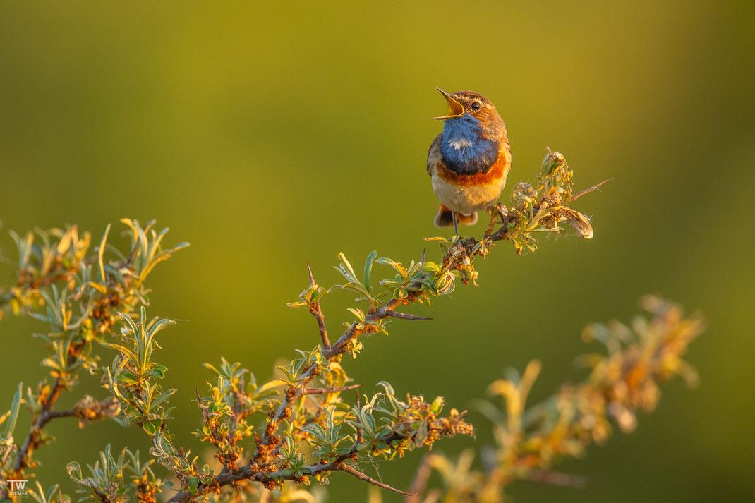 Ein Blaukehlchen im sanften Morgenlicht (B2615)