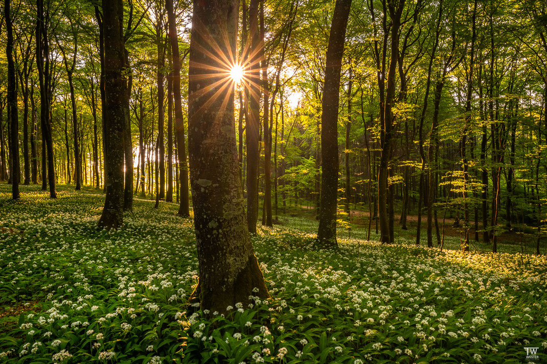 Hier im alten Wald, der morgens ganz wunderbar durchleuchtet war… (B1992)