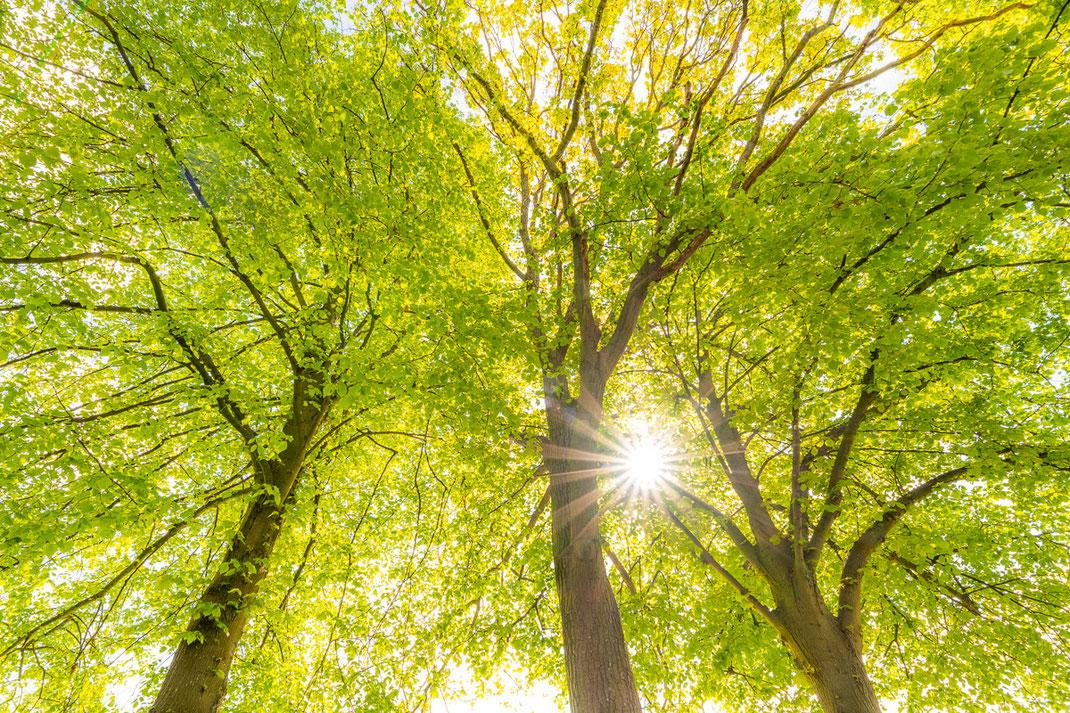 Ein Blick nach oben zeigt die schöne Gelb-Grüne Färbung der noch jungen Blätter (B2560)