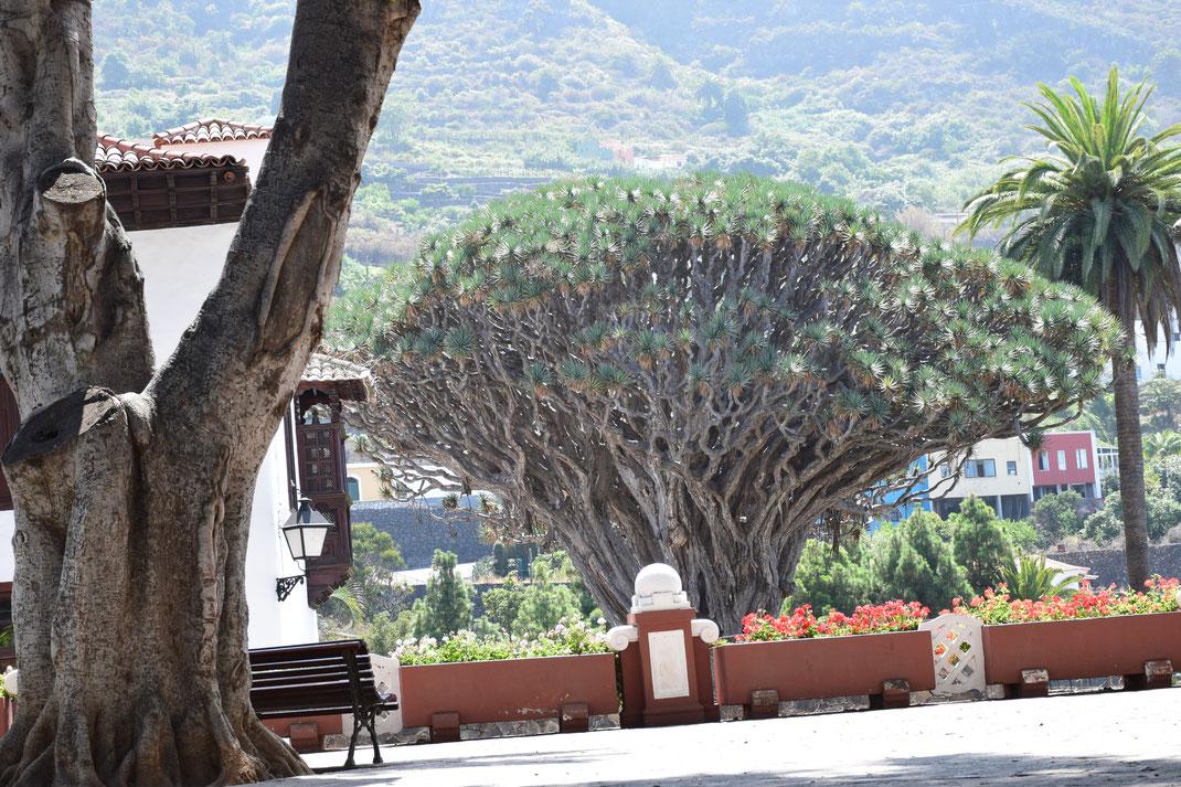 Teneriffas uralter Drachenbaum