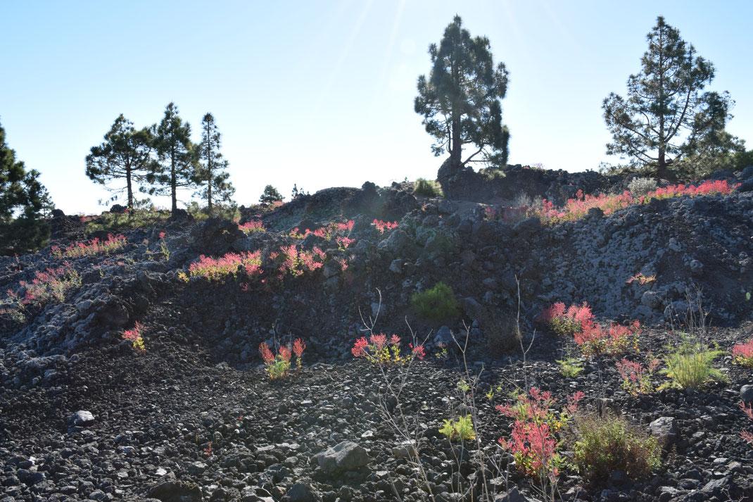 Blühende Blumen im Lavafeld in San Jose de los Llanos