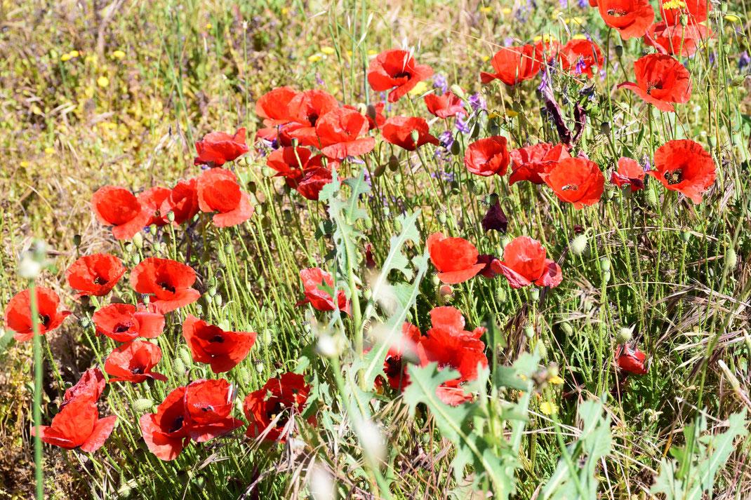Blühende Mohnwiese in San Jose de los Llanos