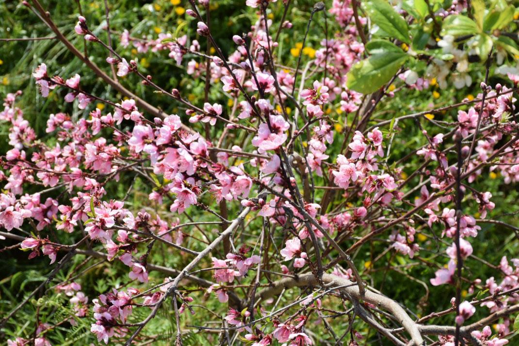 Teneriffa-Urlaub und die Mandelblüte