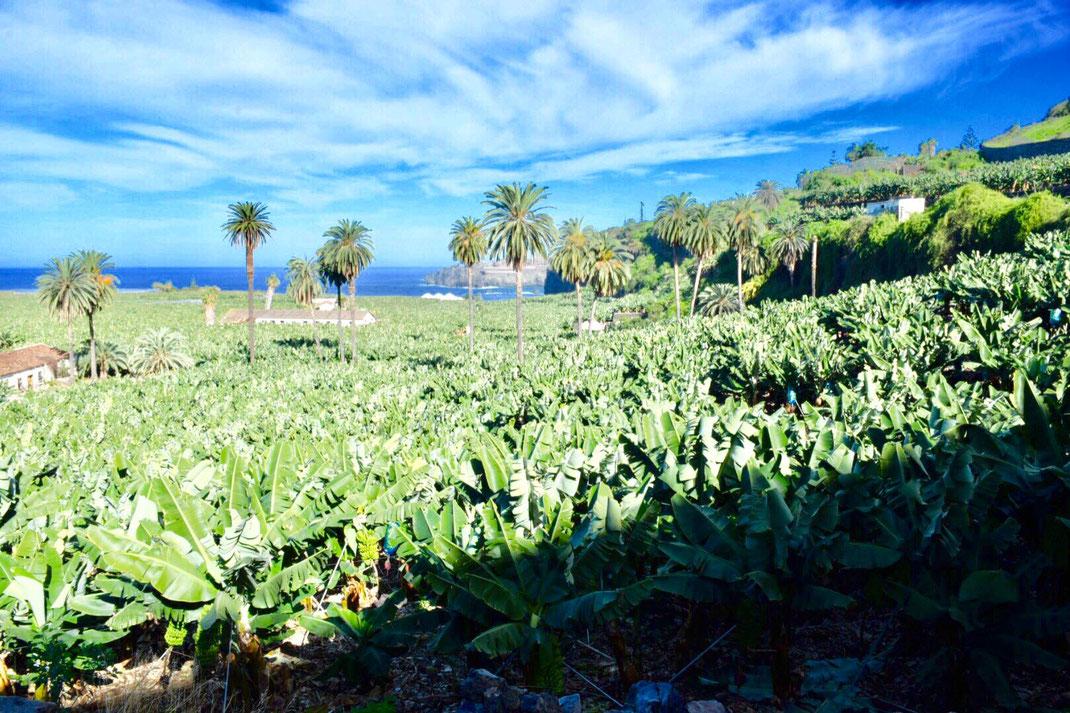 Bananenplantage Teneriffa der kanarischen Banane, Casa Madera La Vega