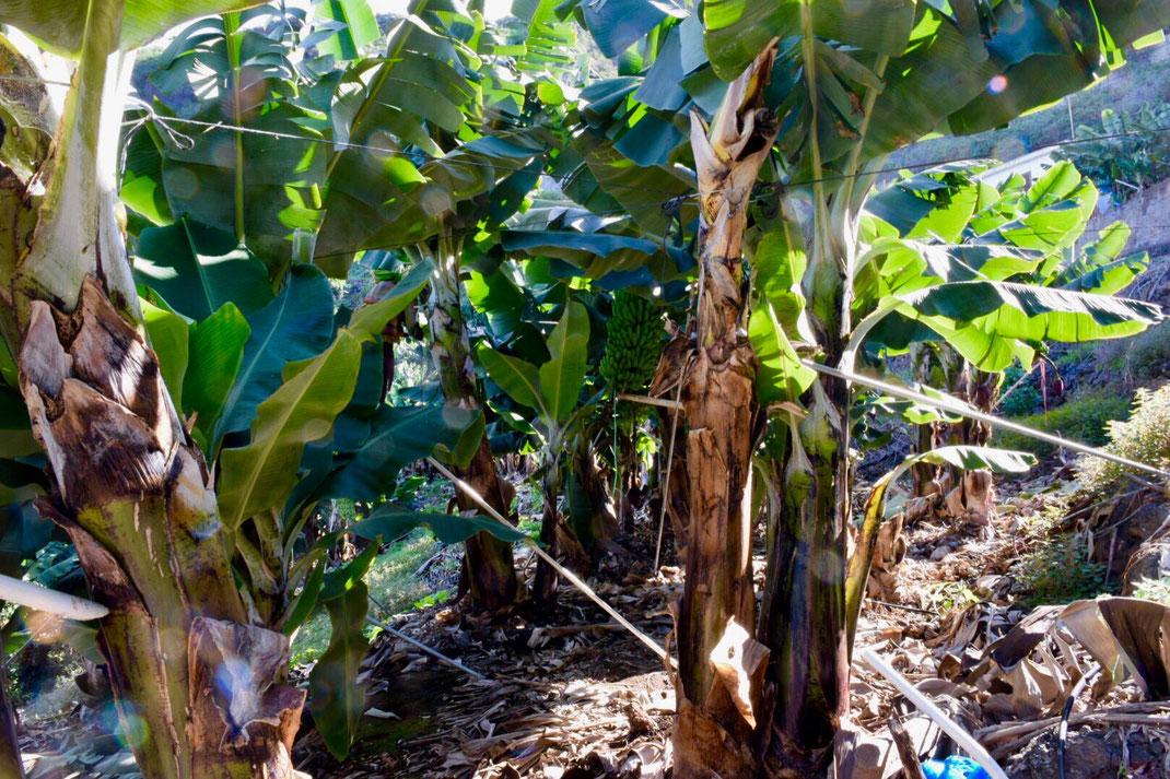 Bananenanbau der kanarischen Banane Icod de los Vinos, Casa Madera La Vega,