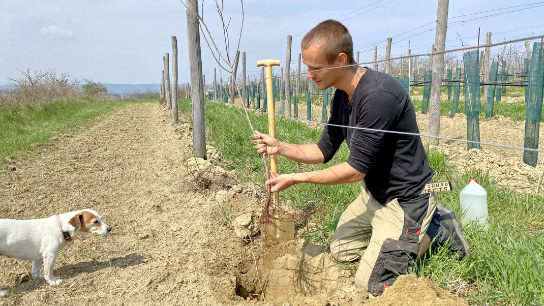 Fanda beim händischen Auspflanzen der neuen Bäume am Schatzberg - Luna ist wie immer wachsam und überzeugt sich selbst von der Qualität der Arbeit