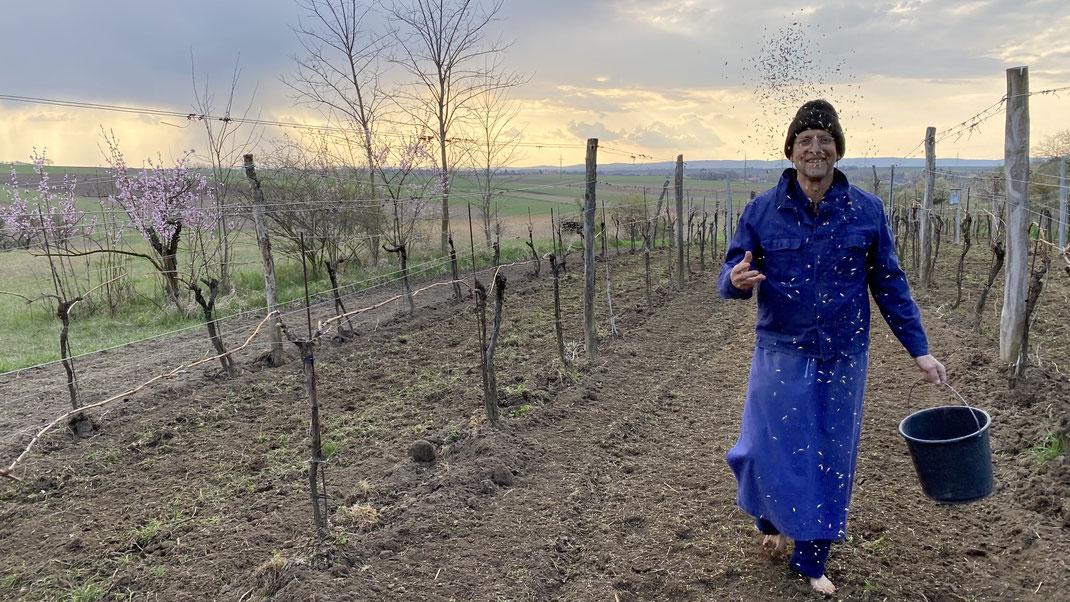 Harry bei der händischen Aussaat im Weingarten Schoissplatz - Im Hintergrund blüht der Weingartenpfirsich!