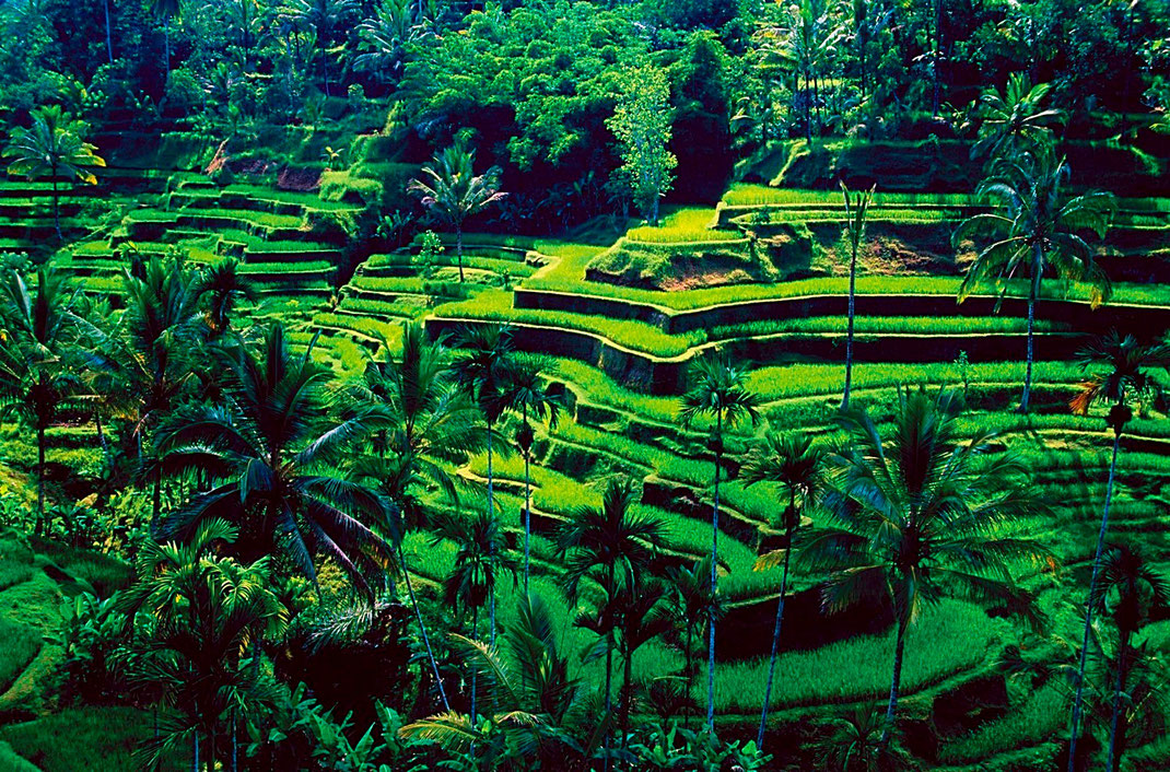 Rizières à Ubud, Bali