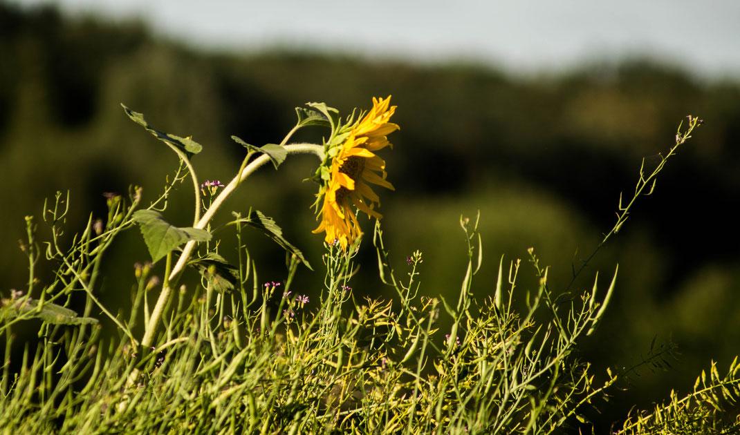 Eine durstige Sonnenblume am Stadtrand Hannovers