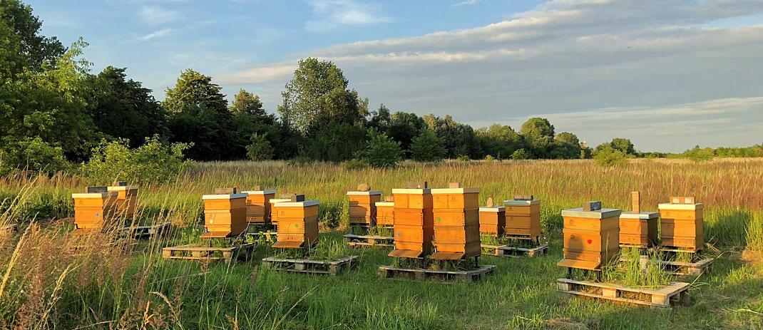 Bienenvölker der Imkerei Fließgold auf der Naturschutzausgleichsfläche der Berliner Golfclubs Stolper Heide.