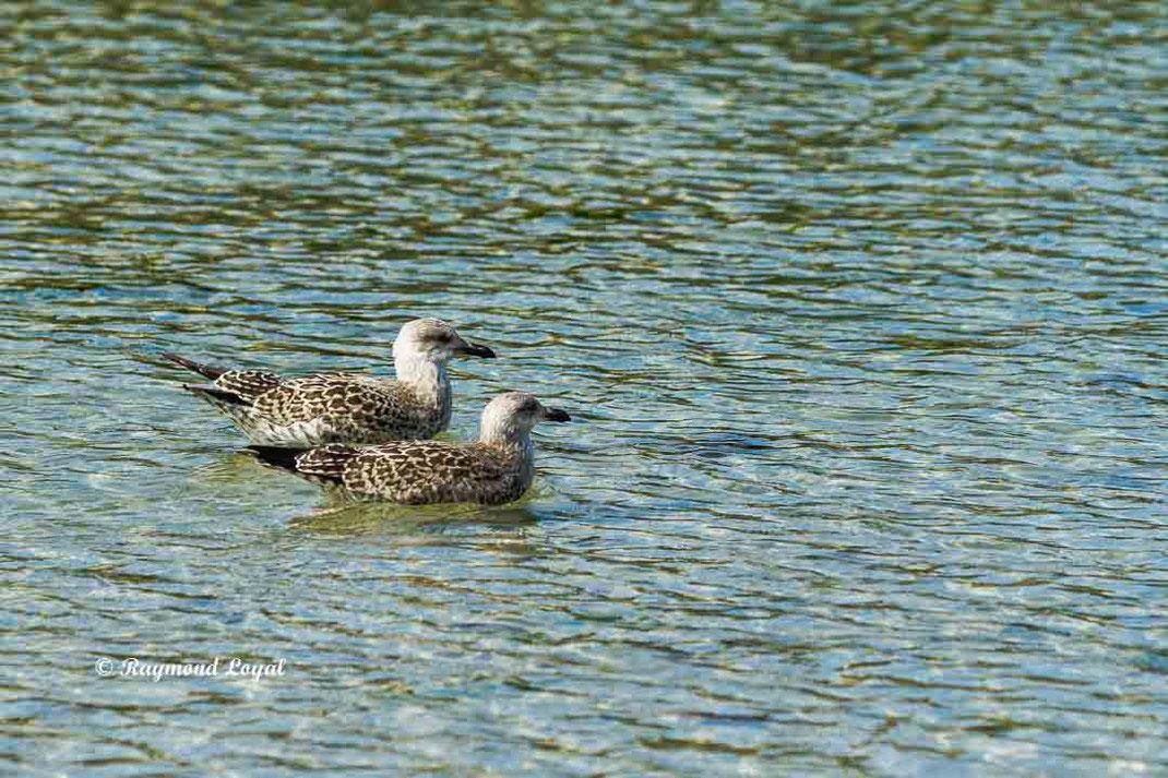 mantelmoewe immatur vogel wasser schwimmen