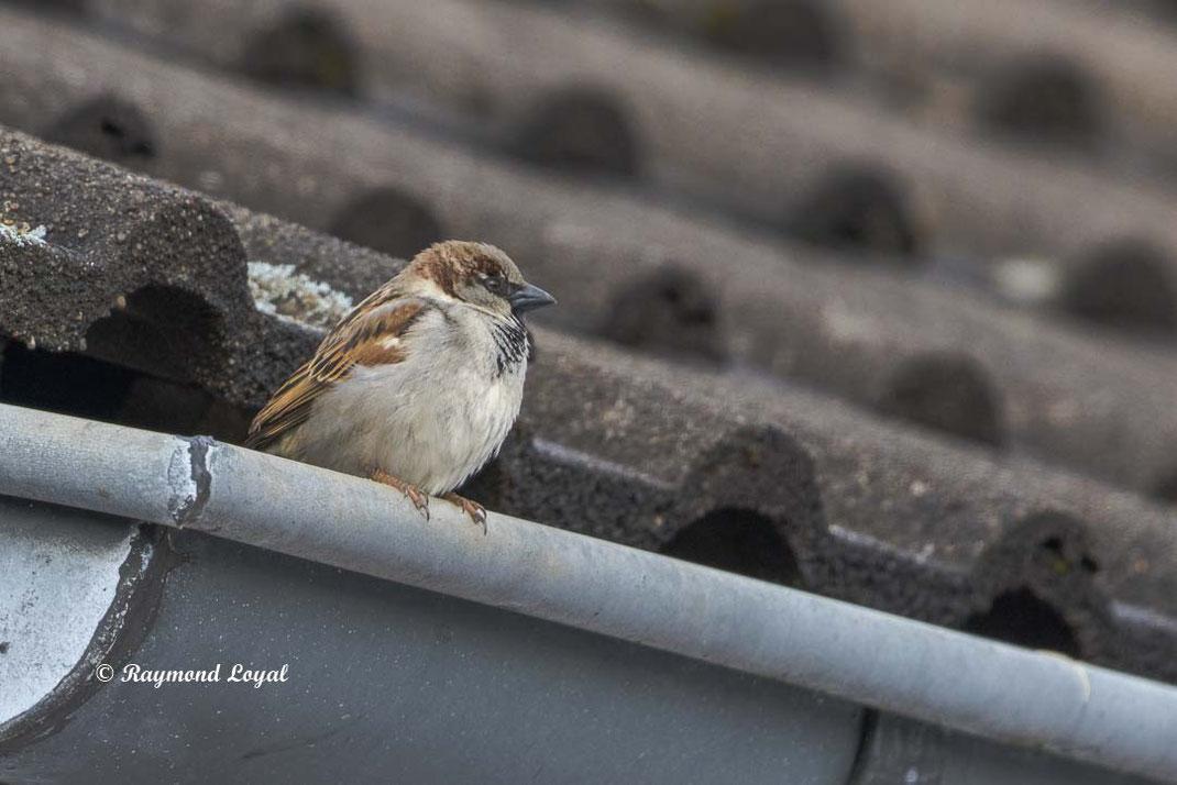 haussperling sitzt auf dachrinne