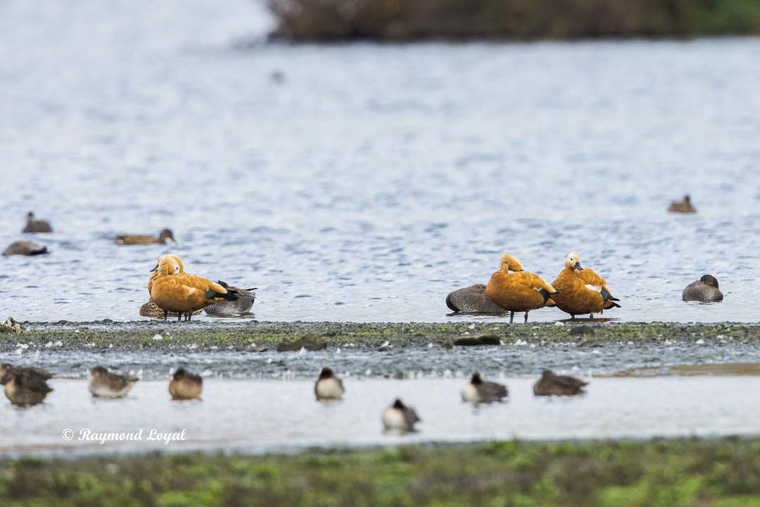 ruddy shelduck standing in water