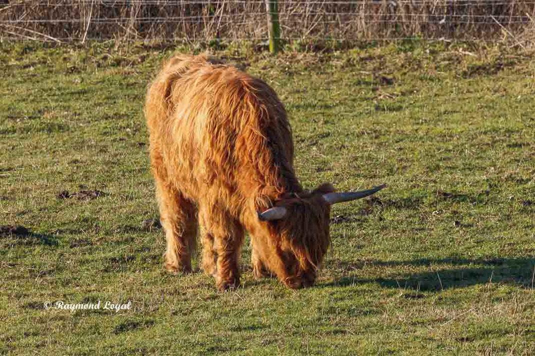 scottish highland cattle rinderrasse