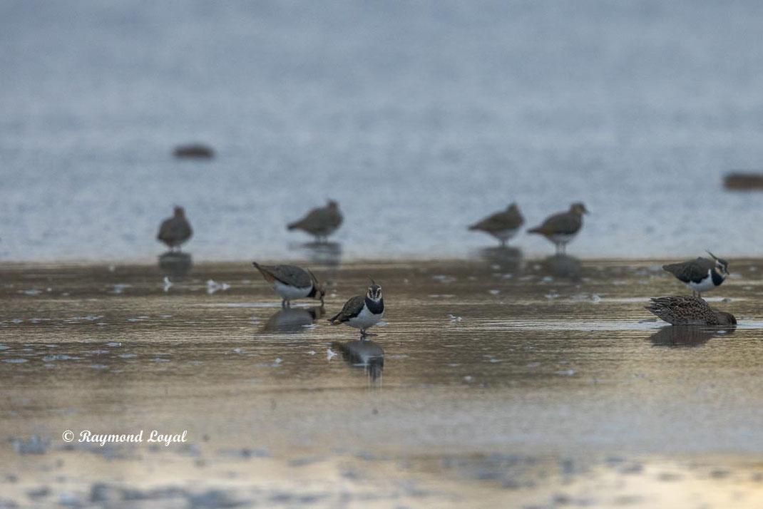 kiebitz vogel vanellus vanellus