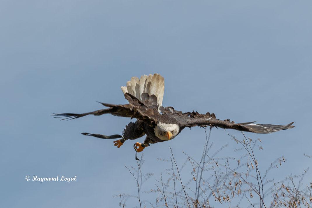 weisskopfseeadler im sturzflug