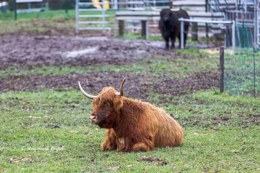 scottisch highland cattle rinderrasse