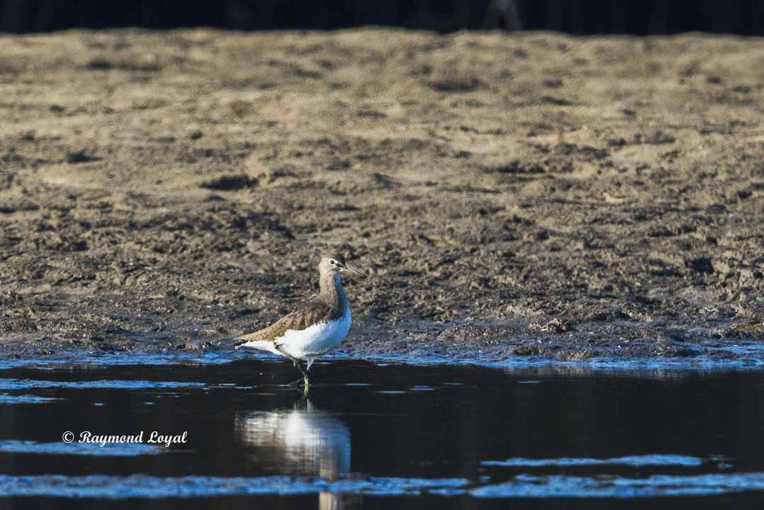 waldwasserlaeufer vogel wasser
