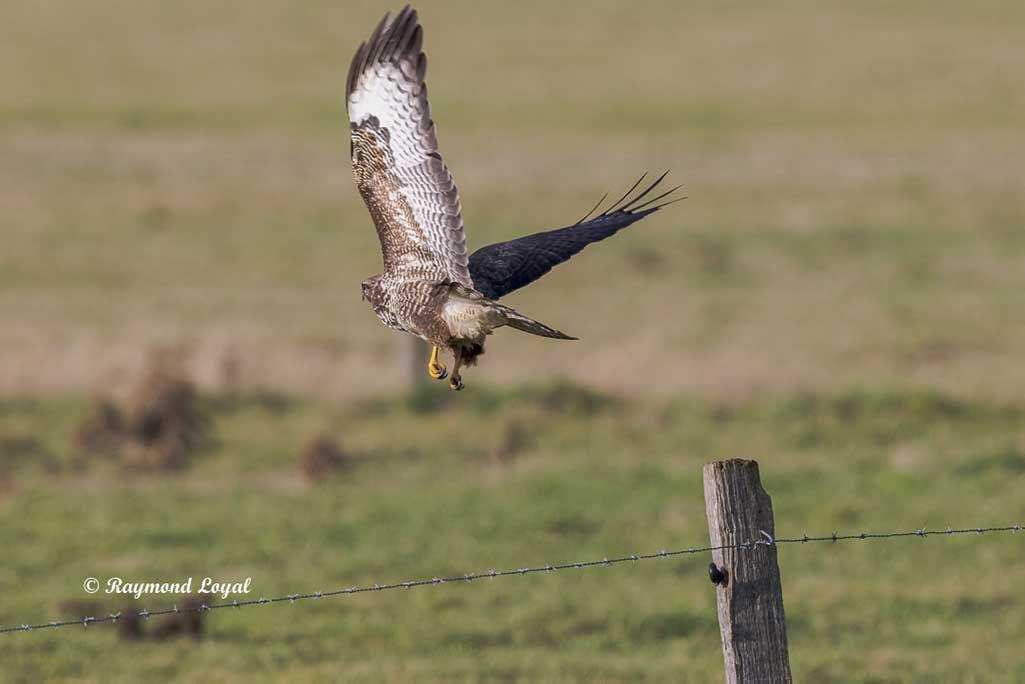 maeusebussard vogel fliegt
