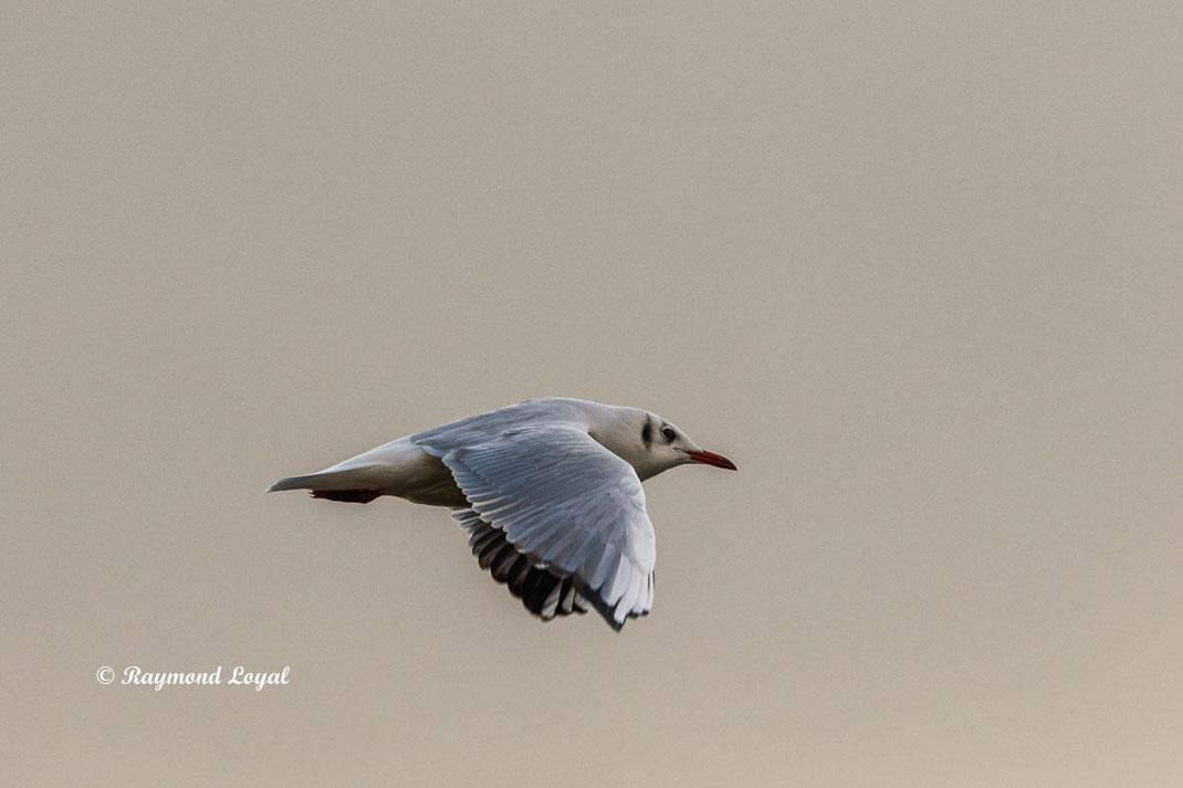 lachmoewe vogel flug