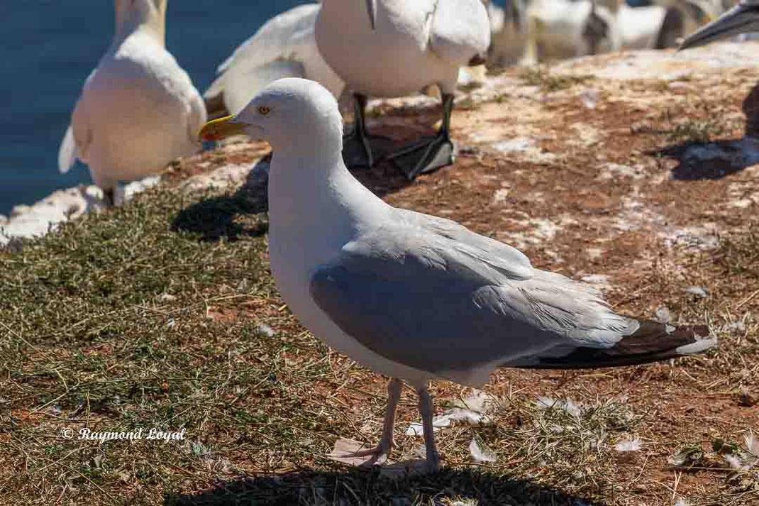 silbermoewe vogel stehen